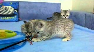 Британские котята окраса вискас (litter_x_2_months)