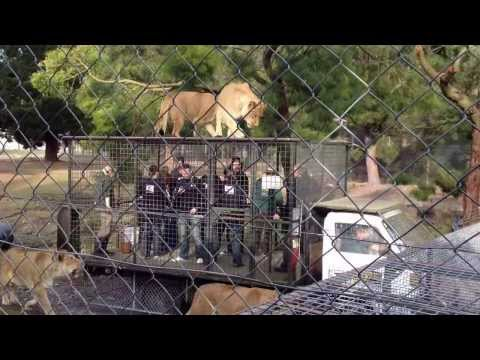 Lion Encounter at Orana Park Wildlife Park Christchurch