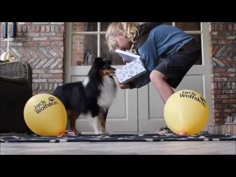 Shetland Sheepdog Paint it black `t Wijnmeer
