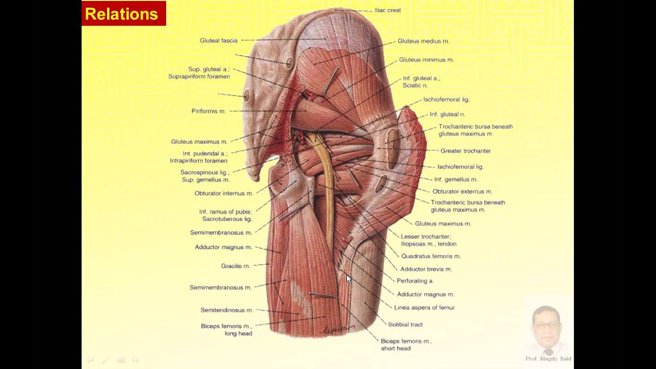 Magdy Said anatomy series,lower limb,muscles of gluteal region,v1 ...