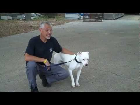 Casita Big Dog Rescue #11 - Deaf Pitbull Mix Marlie