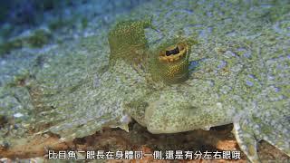 南灣海域珊瑚礁生態系調查監測_比目魚