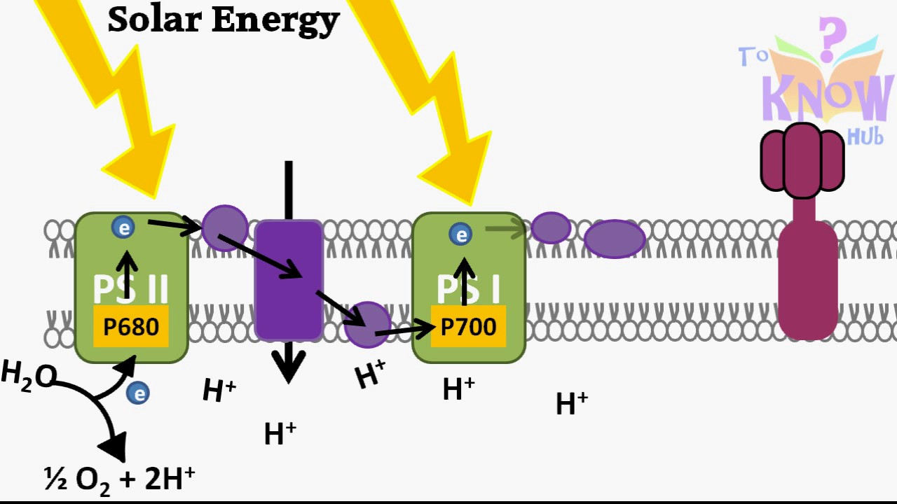 Photosynthesis light dependent reactions animation how atp photosynthesis light dependent reactions animation how atp nadph is produced pooptronica Choice Image