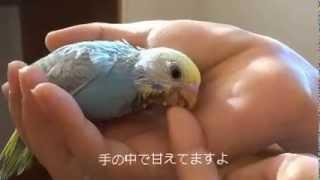 セキセイインコ雛さし餌中、、、。名前は「たら」です。先住鳥のセキセ...
