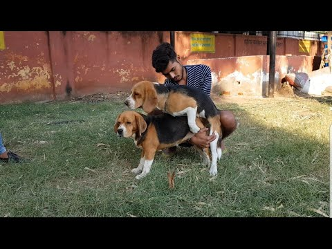 Beagle matting beagles love story
