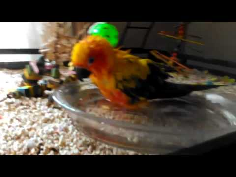 How to bathe a Sun Conure