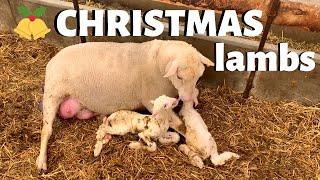 lambing-on-christmas-day-vlog-204