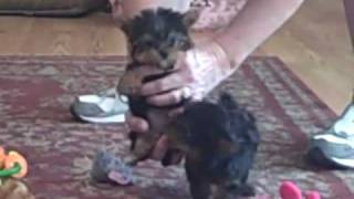 Teacup Yorkie Puppies Named. Doll Baby & Bellini Playing On June 13th 2010.mp4