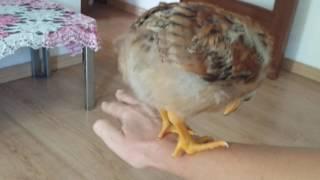 Эта свирепая птица -  цыпленок.)))
