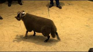 Blackface Rams sale at Lanark Auction Mart on Thursday 11th October 2012 (top ten prices)