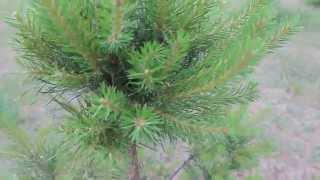 Стрижка сосны обыкновенной(Питомник декоративных растений