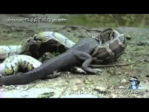 งูยักษ์ VS จระเข้ เขมือบมีจริง