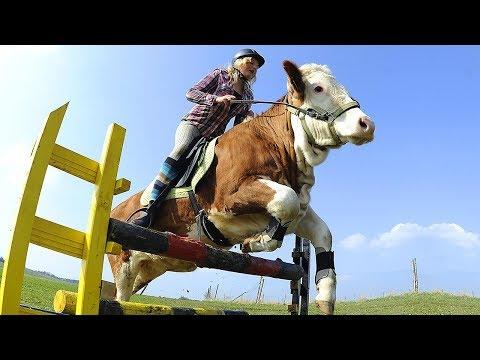 Kuh springt wie ein Pferd. 10 sehr intelligente Tiere, die dir den Verstand rauben werden!