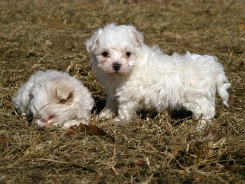 maltese puppies for sale in ms maltese puppies dogs for sale in gulfport mississippi 7531