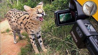 ДИКАЯ КОШКА ТРЕБУЕТ МЯСО! (СЕРВАЛ - кустарниковая кошка) Brave Wilderness на русском