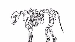 Wolf skeleton!