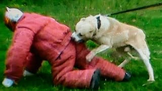 Central Asian Shepherd Dog fights Man defending – TEST 42. – Ficko the Beast