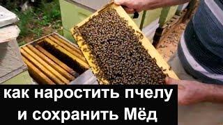 Пасека #63 Погоня за двумя зайцами или как нарастить пчелу и сохранить Мёд  Пасека.Пчеловодство