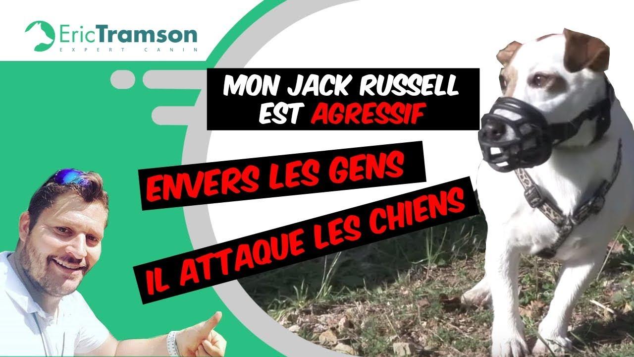 Mon chien jack russel est agressif envers les gens il attaque les chiens eric tramson 1 youtube - Jack russel queue coupee ...