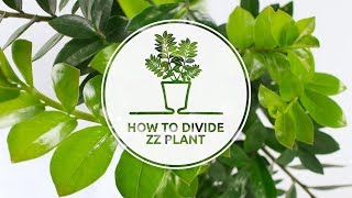 Propagation of Zamioculcas - how to divide ZZ plant