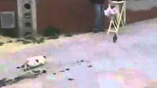 смешная попытка кота поймать голубя