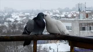 Relax.Нежная зарисовка - Любовь и Голуби. Doves, tenderness and love
