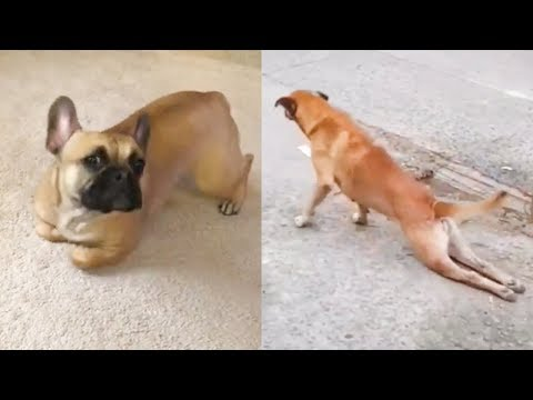 Try Not To Laugh Challenge with Poor Dog – Funny Dog Trick Compilation