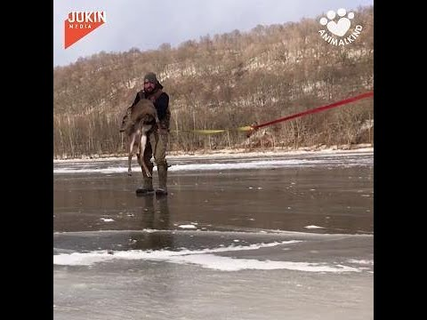 Father and son find deer trapped in frozen river