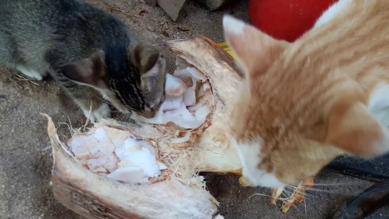 cat ate coconut