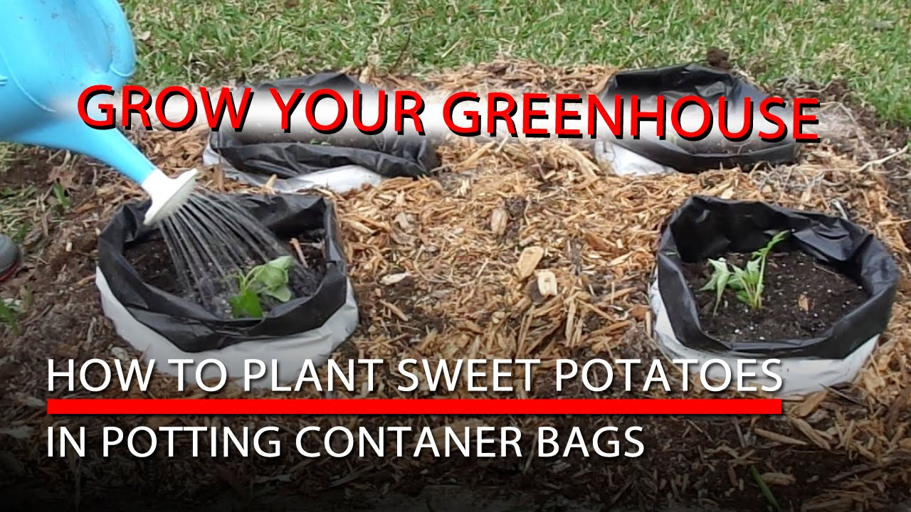 How To Plant Sweet Potatoes And Potting Container Bags You