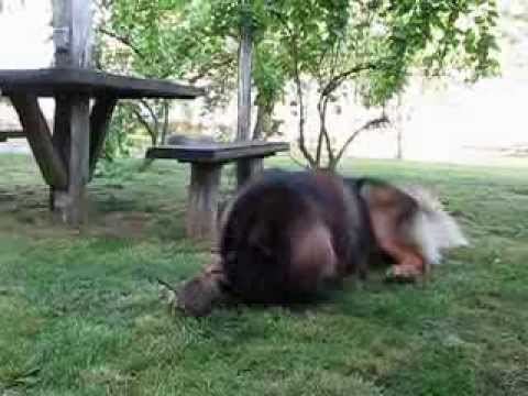 Leonberger plays with a kitten