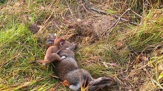 Stoat Kills a Rabbit! (ALASKA)