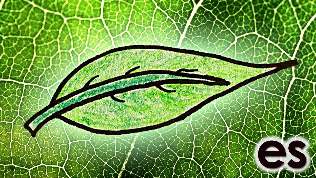 Por qué las hojas son verdes? Parte 1 - YouTube