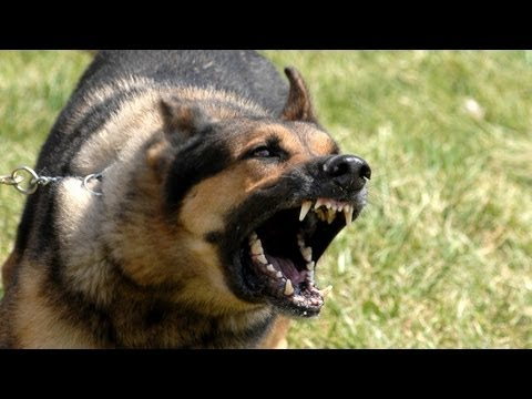 Thumbnail: Drunk man barks at police dog named 'Chaos', it doesn't go well