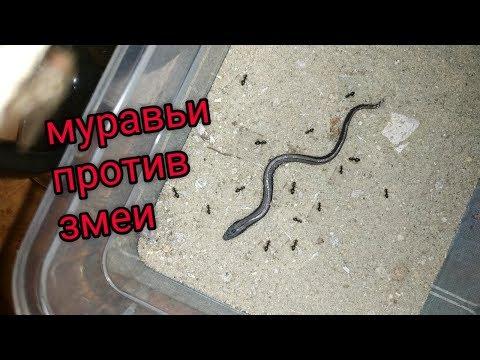 Змея vs муравьи! За сколько времени седят змею? #муравьи #змея