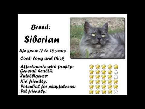 Siberian Cat Characteristics and sound