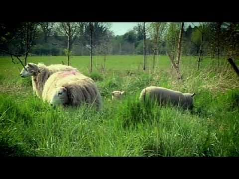Sheep move to David & Victoria Beckham's house - Gordon Ramsay
