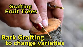Grafting Fruit Trees | Topworking an Almond Tree to change the variety | Bark Grafting Updates
