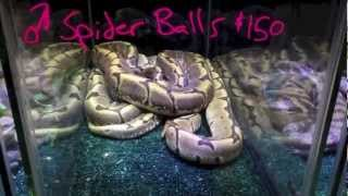 White Plains Reptile Expo February 24th 2013