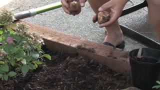 Flower & Plant Garden Care : Transplanting Daffodils