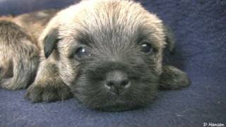 Cairn Terrier's 4 Week Old Puppies (in HD)