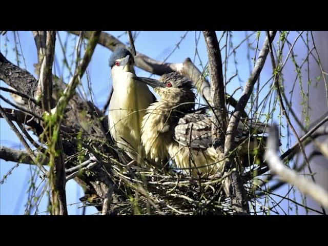 Black Crowned Night Herons