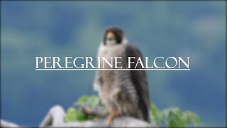 Peregrine Falcons - New Jersey 2019 - 4k