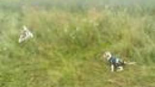 Cavalier King Charles Spaniel Vs Foxterrier