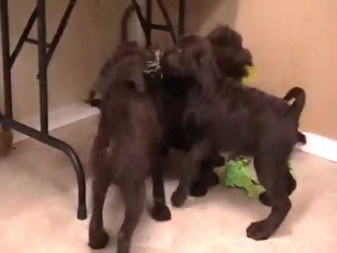 Chocolate Labradoodle Puppies available--shed free