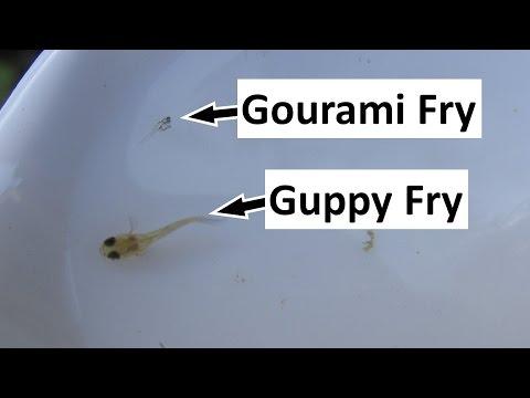 Raising And Feeding Tiny Gourami Fry