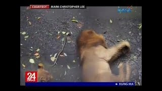 Viral video ng tila nangingisay na leon sa Manila Zoo, ikinabahala ng ilang netizen