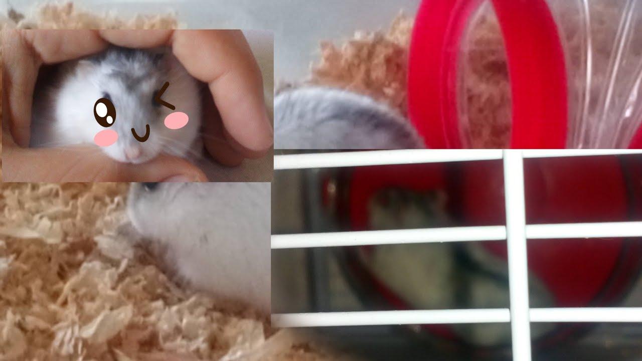 Dite Bonjour à Nutella Mon Petit Hamster Youtube