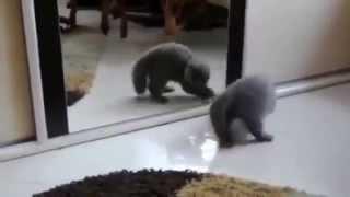 Кот увидел зеркало и понеслось...