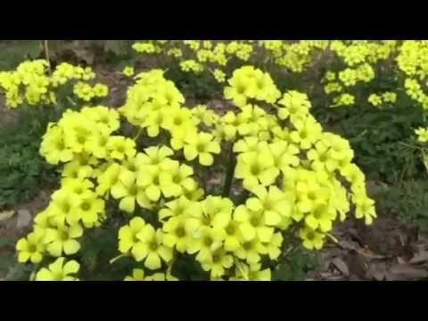 Yellow clover flowers in my garden youtube mightylinksfo